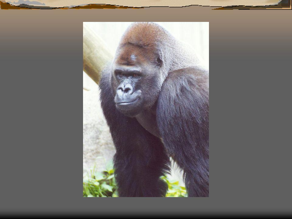 """ Zegt de man tegen zijn vrouw: """"Schud eens lekker een beetje met je kontje, misschien vindt hij dat wel leuk !  De vrouw wil wel eens zien of haar avances worden begrepen en beantwoord en maakt uitdagende bewegingen met haar heupen naar de gorilla."""