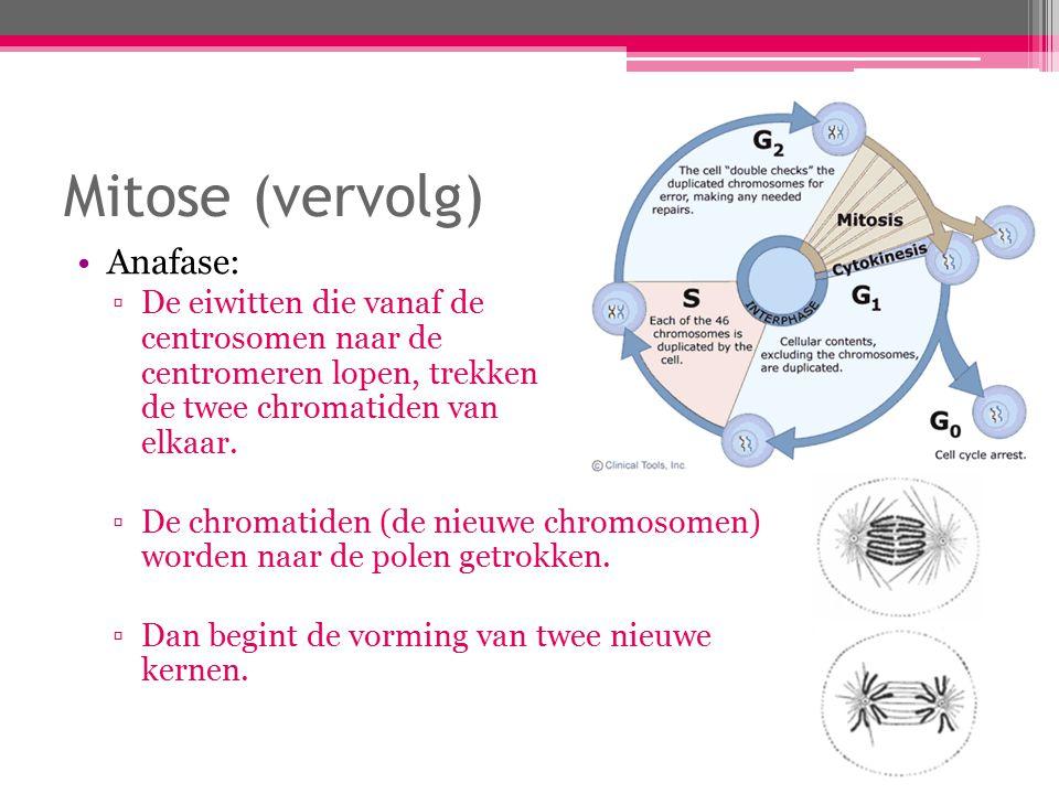 Mitose (vervolg) Anafase: ▫De eiwitten die vanaf de centrosomen naar de centromeren lopen, trekken de twee chromatiden van elkaar.