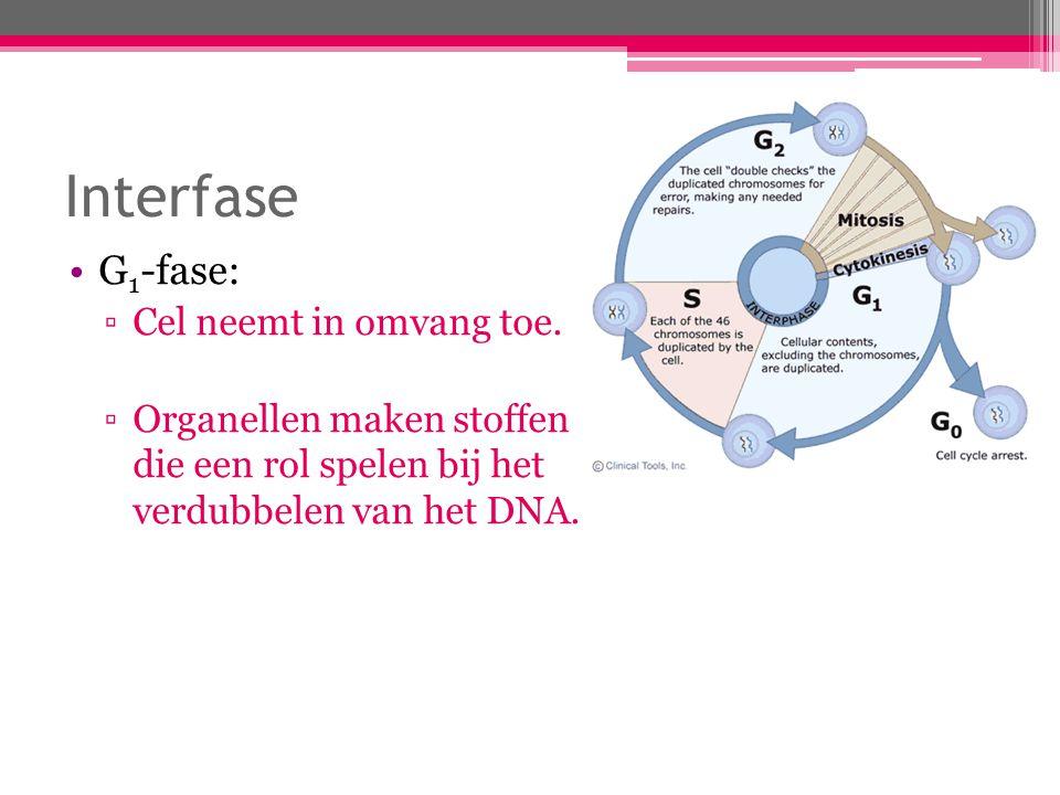 Interfase S-fase: ▫De DNA-moleculen worden verdubbeld.