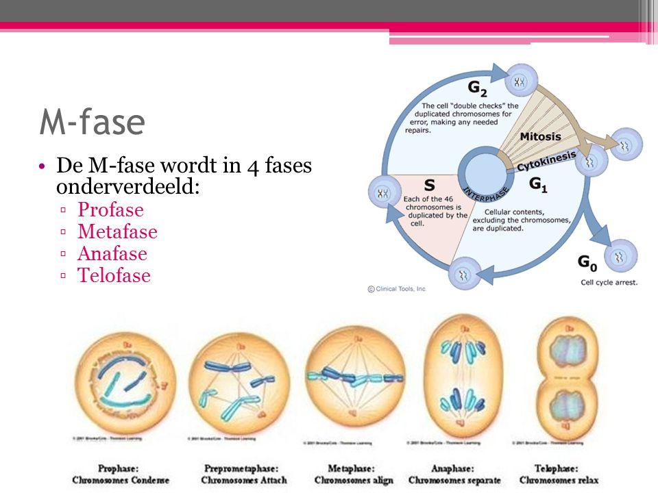 Mitose (vervolg) Profase: ▫De DNA-moleculen rollen zich op.