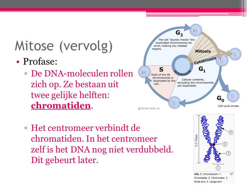 Mitose (vervolg) Profase (vervolg): ▫De centrosomen verplaatsen zich ieder naar een kant van de cel.