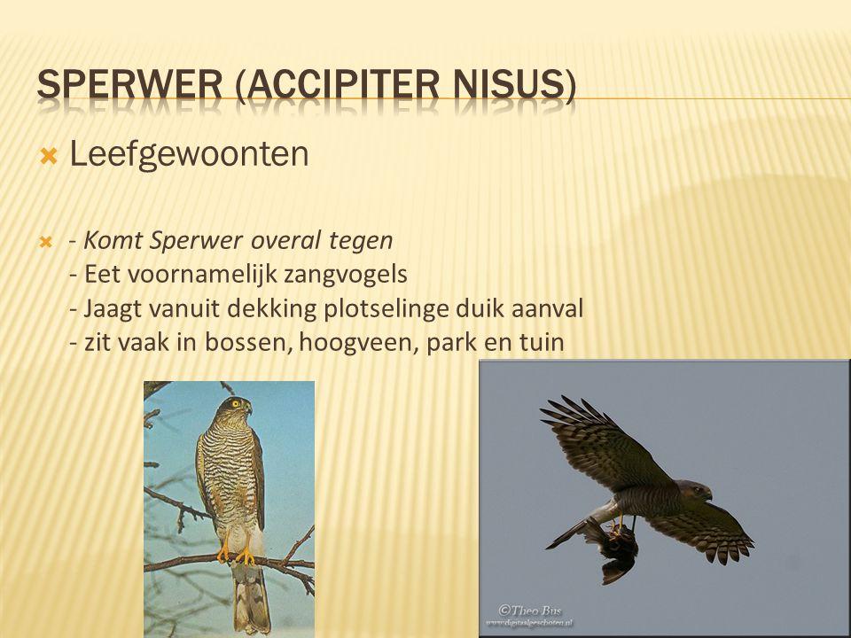  Leefgewoonten  - Komt Sperwer overal tegen - Eet voornamelijk zangvogels - Jaagt vanuit dekking plotselinge duik aanval - zit vaak in bossen, hoogv