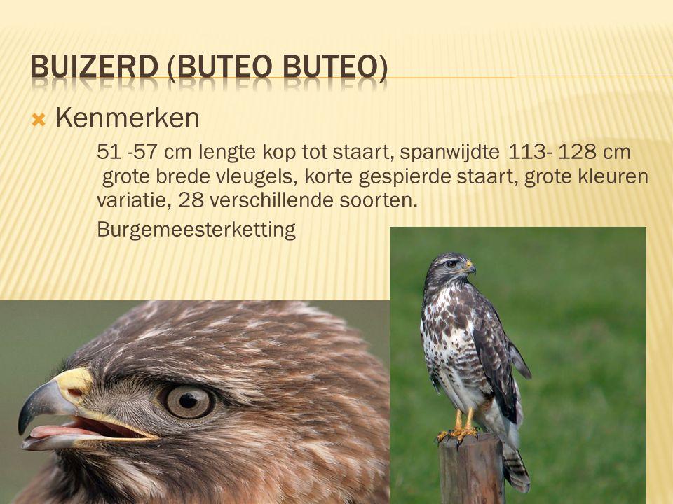  Kenmerken 51 -57 cm lengte kop tot staart, spanwijdte 113- 128 cm grote brede vleugels, korte gespierde staart, grote kleuren variatie, 28 verschill