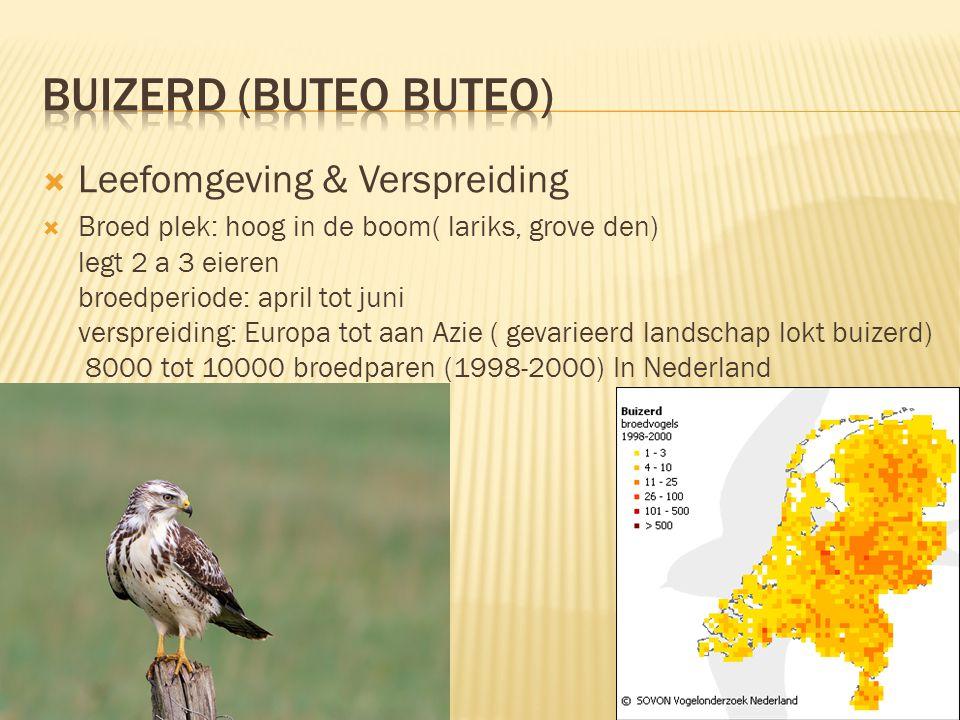  Leefomgeving & Verspreiding  Broed plek: hoog in de boom( lariks, grove den) legt 2 a 3 eieren broedperiode: april tot juni verspreiding: Europa to