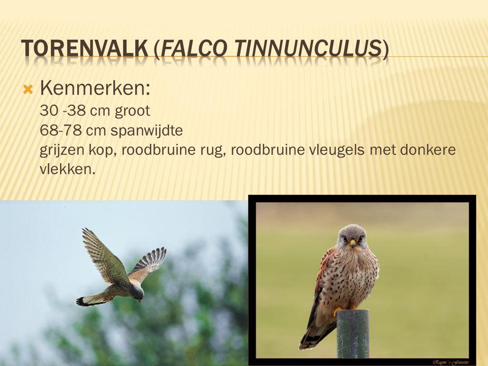  Kenmerken: 30 -38 cm groot 68-78 cm spanwijdte grijzen kop, roodbruine rug, roodbruine vleugels met donkere vlekken.