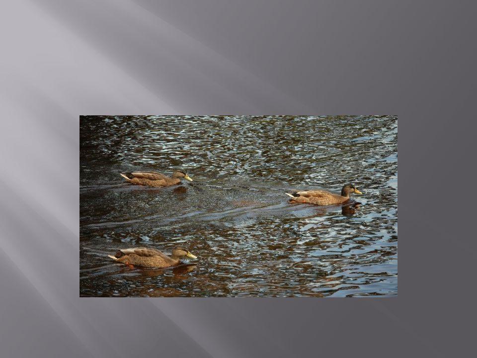 Alle eenden in de vijver zijn bruin.
