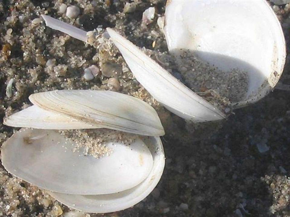 made by tillygemaakt voor: www.powerpointsite-bep.nl De schelp (of bij slakken het slakkenhuis) is een uit kalk en ander mineralen bestand of object, dat door een weekdier wordt aangemaakt.