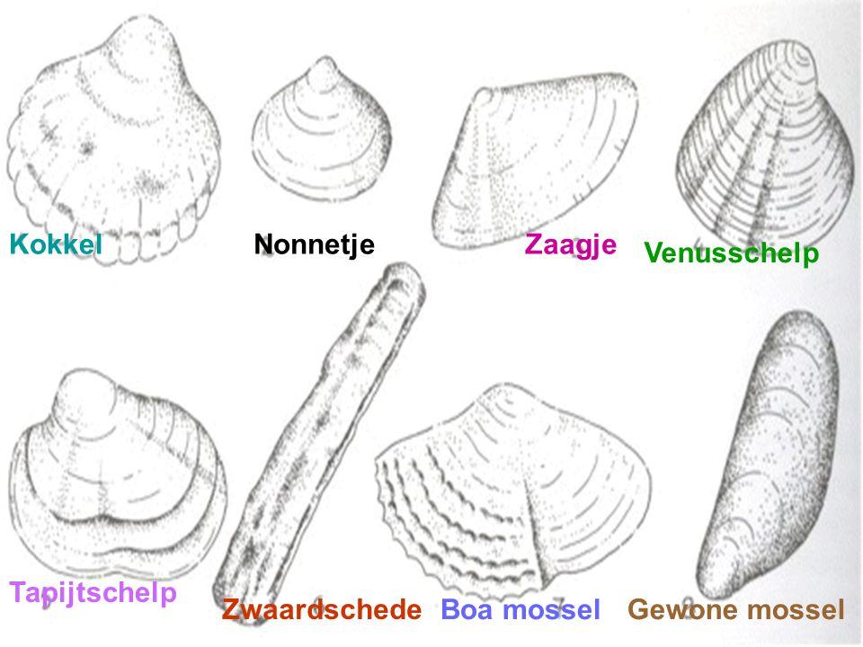 made by tillygemaakt voor: www.powerpointsite-bep.nl Er zijn twee groepen schelpen de twee kleppigen en de zeeslakken.