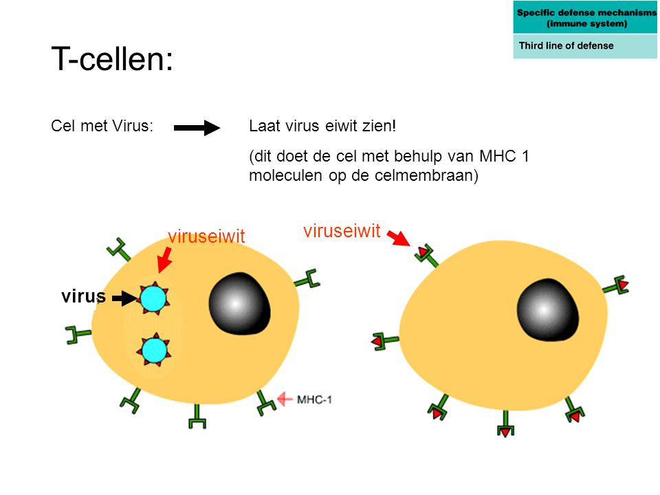 Cel met Virus: Laat virus eiwit zien! (dit doet de cel met behulp van MHC 1 moleculen op de celmembraan) T-cellen: virus viruseiwit