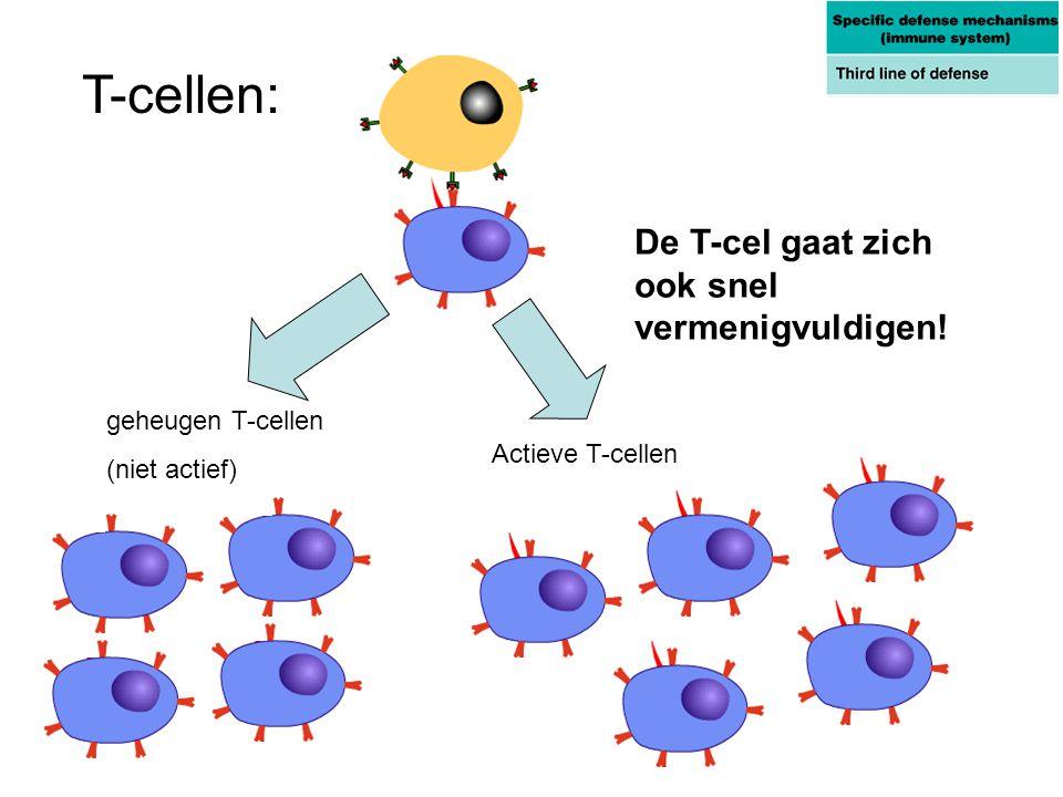Actieve T-cellen geheugen T-cellen (niet actief) De T-cel gaat zich ook snel vermenigvuldigen! T-cellen: