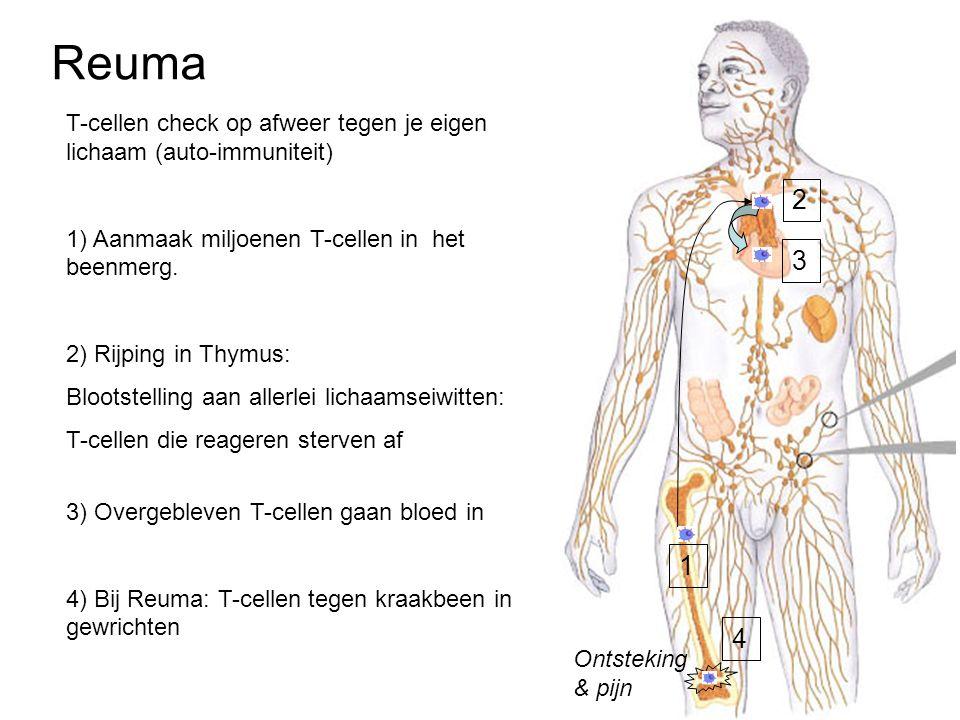 Reuma 1 2 T-cellen check op afweer tegen je eigen lichaam (auto-immuniteit) 1) Aanmaak miljoenen T-cellen in het beenmerg. 2) Rijping in Thymus: Bloot