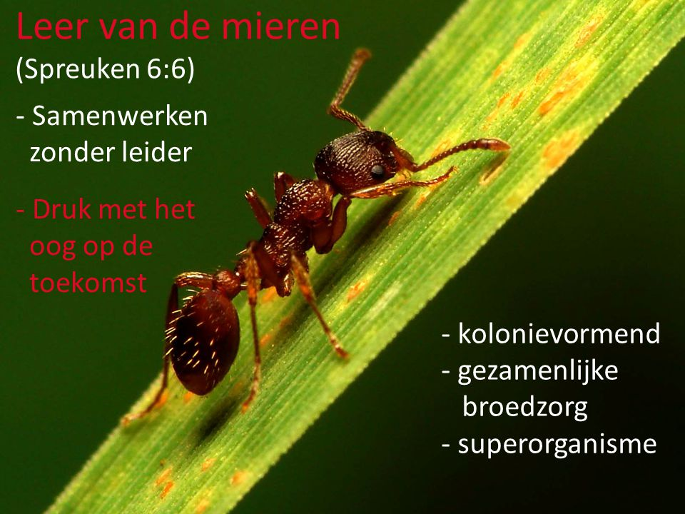 - Samenwerken zonder leider - Druk met het oog op de toekomst Leer van de mieren (Spreuken 6:6) - kolonievormend - gezamenlijke broedzorg - superorganisme