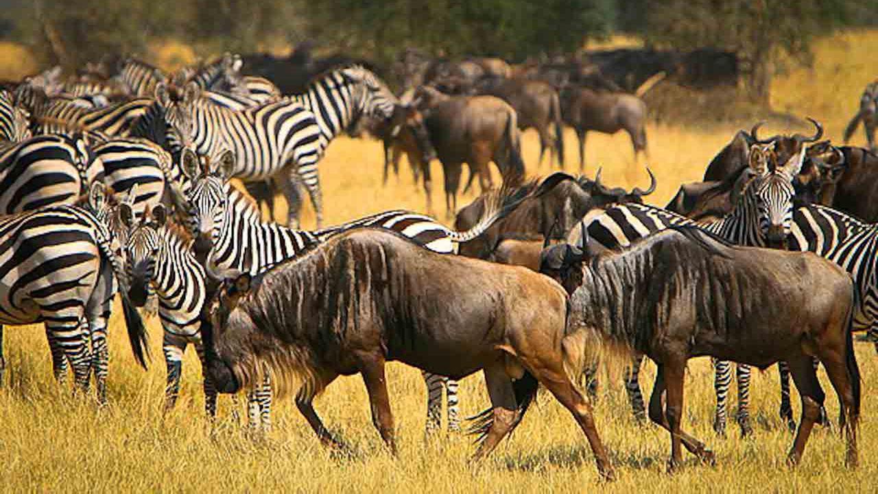 Omwille van de droogte verplaatsen de dieren zich vanuit de noordelijke heuvels naar de zuidelijke vlaktes.