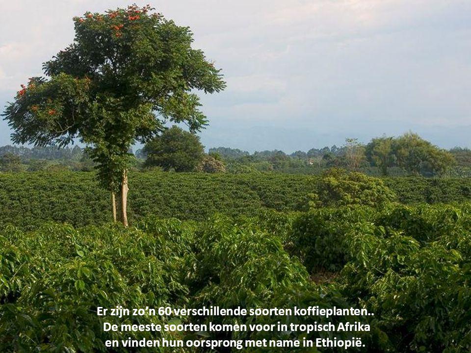 Koffie is een meestal warm genuttigde drank die onder andere het oppeppende middel cafeïne bevat. Koffie wordt gemaakt van de gemalen, gedroogde, en g