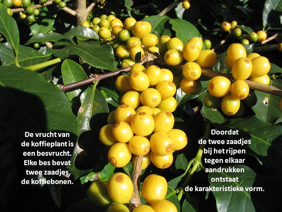 Er zijn zo'n 60 verschillende soorten koffieplanten.. De meeste soorten komen voor in tropisch Afrika en vinden hun oorsprong met name in Ethiopië.