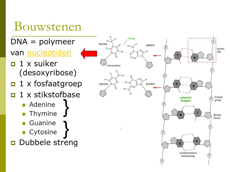 Bouwstenen DNA = polymeer van nucleotidennucleotiden  1 x suiker (desoxyribose)  1 x fosfaatgroep  1 x stikstofbase Adenine Thymine Guanine Cytosin