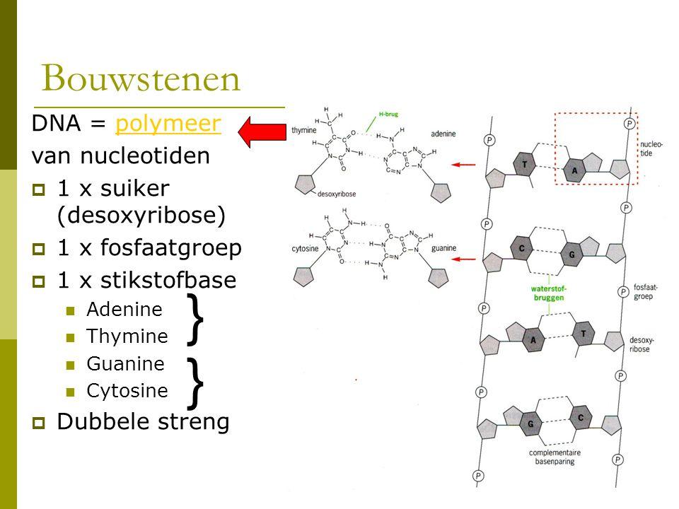 Bouwstenen DNA = polymeerpolymeer van nucleotiden  1 x suiker (desoxyribose)  1 x fosfaatgroep  1 x stikstofbase Adenine Thymine Guanine Cytosine 
