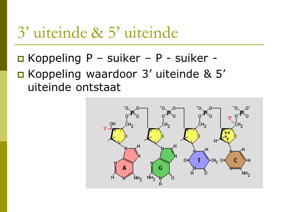3' uiteinde & 5' uiteinde  Koppeling P – suiker – P - suiker -  Koppeling waardoor 3' uiteinde & 5' uiteinde ontstaat