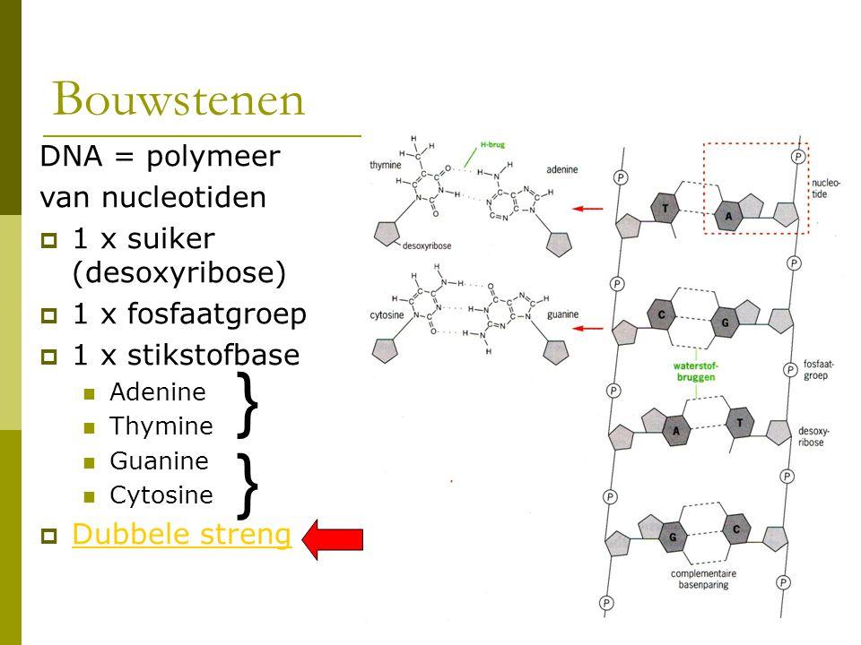 Bouwstenen DNA = polymeer van nucleotiden  1 x suiker (desoxyribose)  1 x fosfaatgroep  1 x stikstofbase Adenine Thymine Guanine Cytosine  Dubbele
