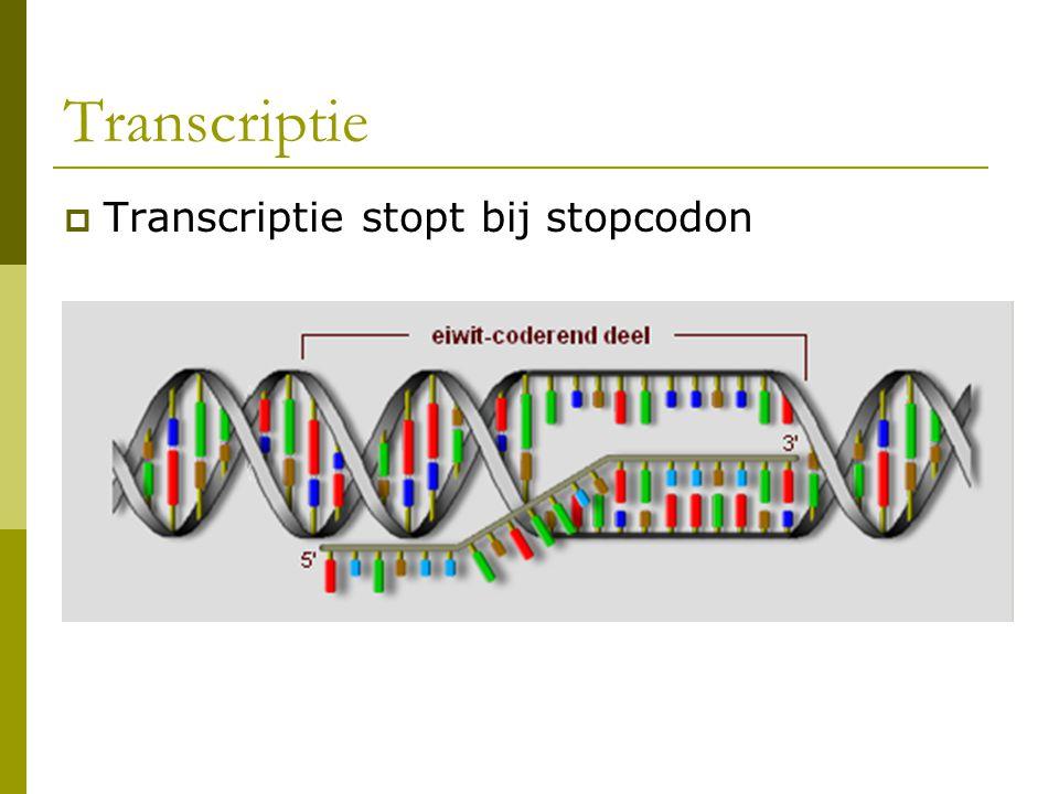 Transcriptie  Transcriptie stopt bij stopcodon