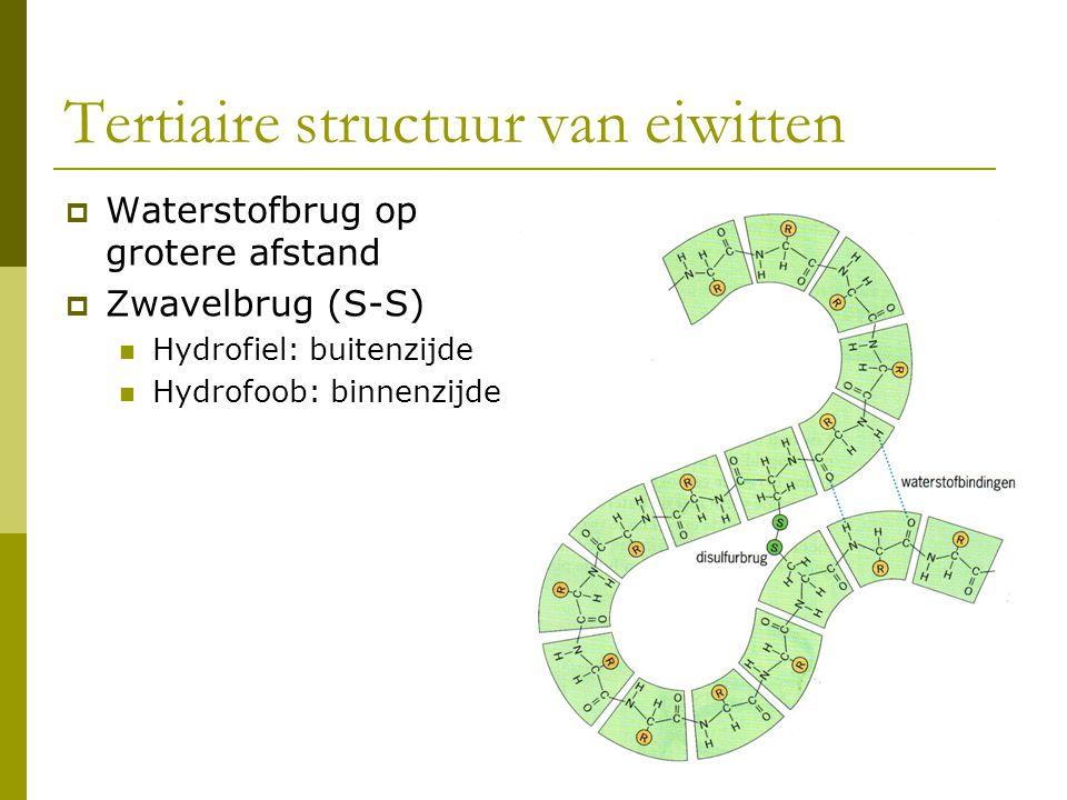 Waterstofbrug op grotere afstand  Zwavelbrug (S-S) Hydrofiel: buitenzijde Hydrofoob: binnenzijde Tertiaire structuur van eiwitten
