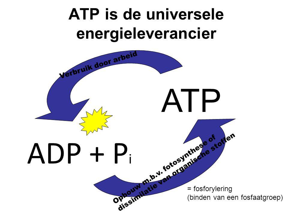 ATP is de universele energieleverancier Verbruik door arbeid ATP ADP + P i Opbouw m.b.v. fotosynthese of dissimilatie van organische stoffen = fosfory