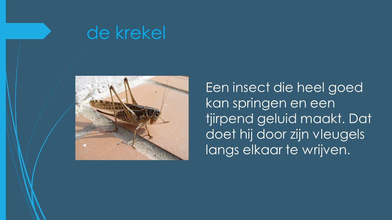 de krekel Een insect die heel goed kan springen en een tjirpend geluid maakt.