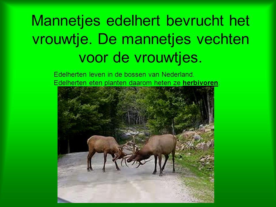Mannetjes edelhert bevrucht het vrouwtje. De mannetjes vechten voor de vrouwtjes. Edelherten leven in de bossen van Nederland. Edelherten eten planten