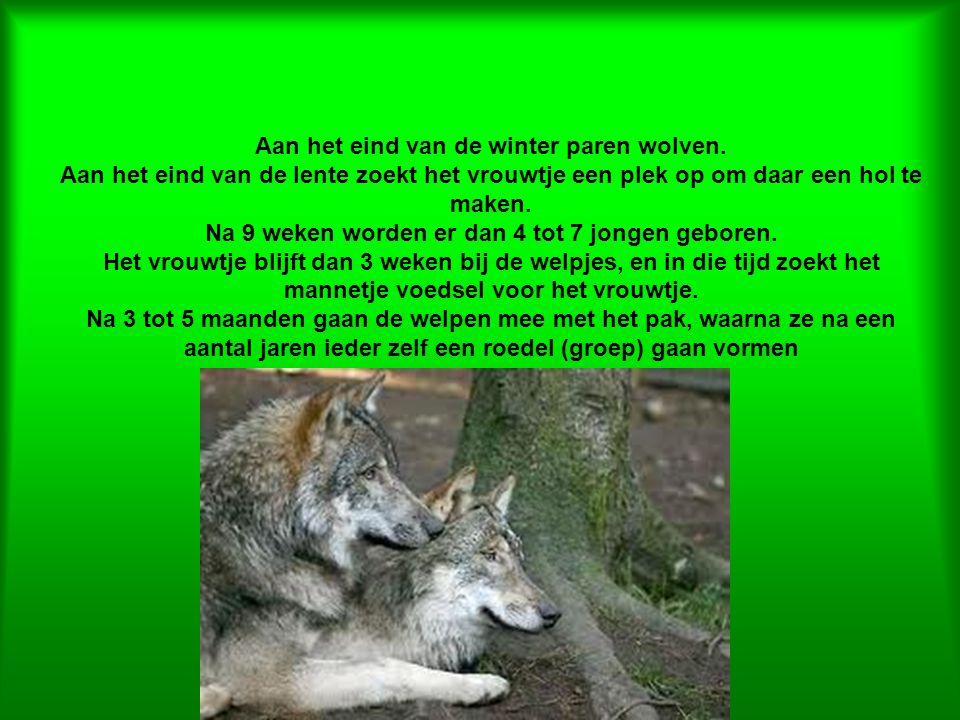 Aan het eind van de winter paren wolven. Aan het eind van de lente zoekt het vrouwtje een plek op om daar een hol te maken. Na 9 weken worden er dan 4