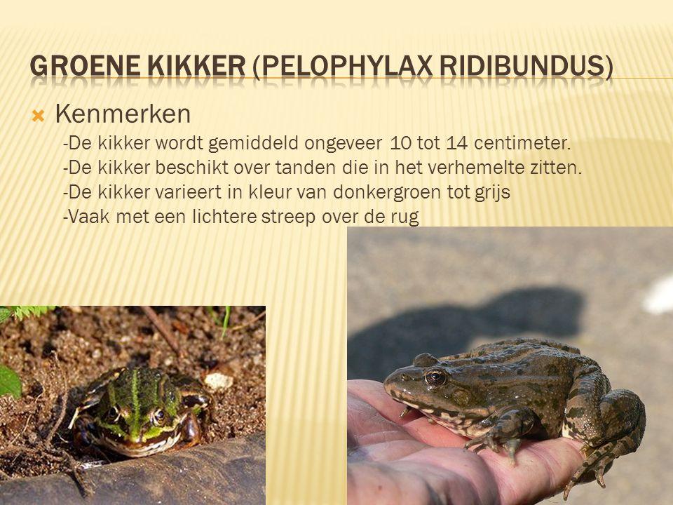  Kenmerken -De kikker wordt gemiddeld ongeveer 10 tot 14 centimeter. -De kikker beschikt over tanden die in het verhemelte zitten. -De kikker varieer