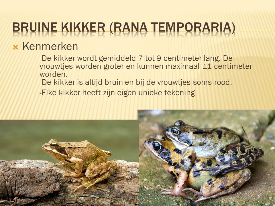  Kenmerken -De kikker wordt gemiddeld 7 tot 9 centimeter lang. De vrouwtjes worden groter en kunnen maximaal 11 centimeter worden. -De kikker is alti