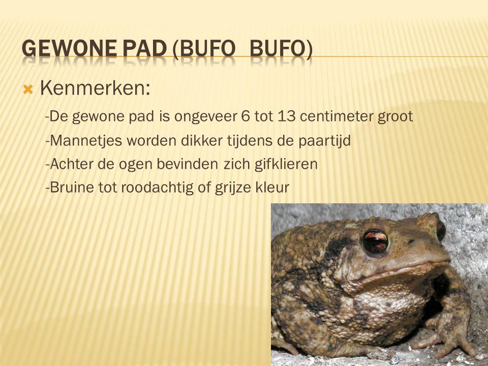 Kenmerken: -De gewone pad is ongeveer 6 tot 13 centimeter groot -Mannetjes worden dikker tijdens de paartijd -Achter de ogen bevinden zich gifklieren -Bruine tot roodachtig of grijze kleur