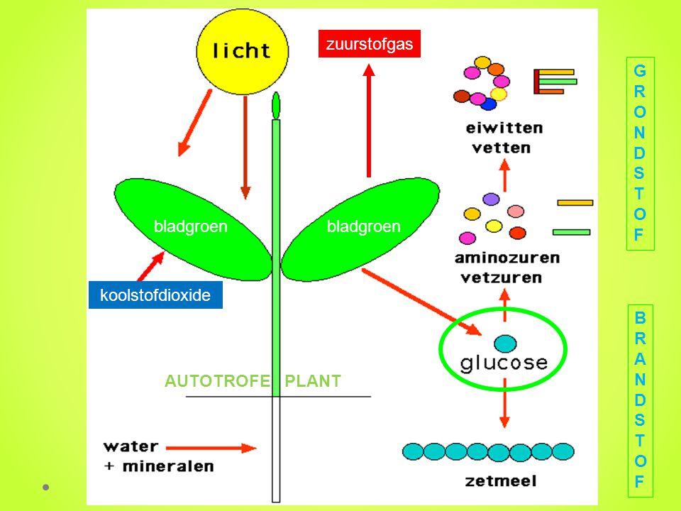 koolstofdioxide zuurstofgas AUTOTROFE PLANT GRONDSTOFGRONDSTOF BRANDSTOFBRANDSTOF bladgroen