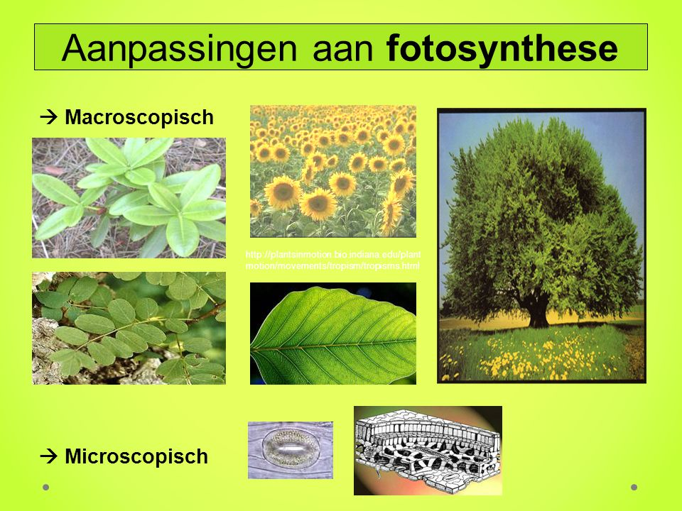  Macroscopisch  Microscopisch http://plantsinmotion.bio.indiana.edu/plant motion/movements/tropism/tropisms.html Aanpassingen aan fotosynthese