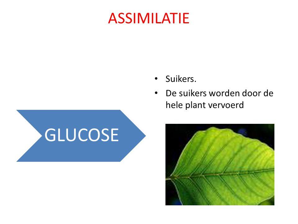 ASSIMILATIE Suikers. De suikers worden door de hele plant vervoerd GLUCOSE