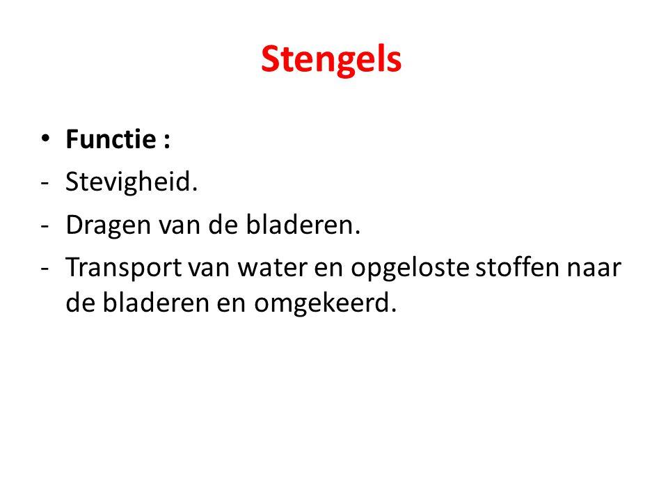 Stengels Functie : -Stevigheid. -Dragen van de bladeren. -Transport van water en opgeloste stoffen naar de bladeren en omgekeerd.