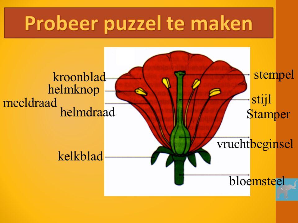 kroonblad helmknop helmdraad meeldraad stempel stijl vruchtbeginsel Stamper bloemsteel kelkblad