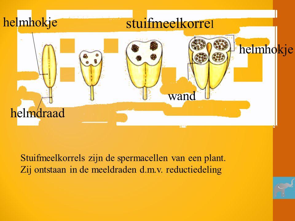 helmhokje stuifmeelkorre l wand helmdraad helmhokje Stuifmeelkorrels zijn de spermacellen van een plant. Zij ontstaan in de meeldraden d.m.v. reductie