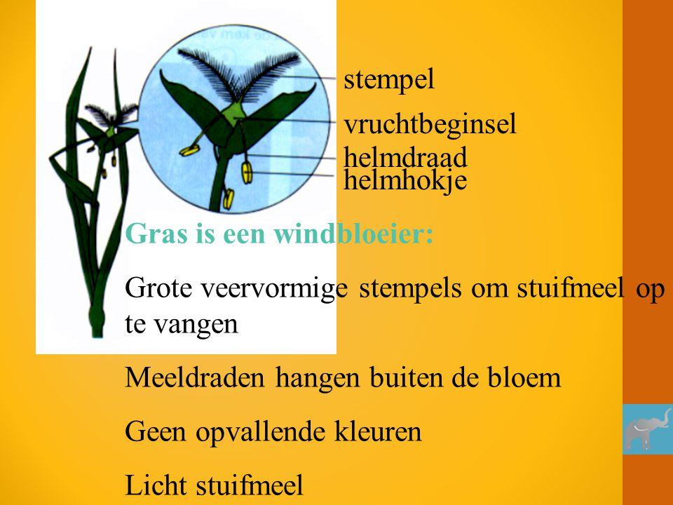 stempel vruchtbeginsel helmdraad helmhokje Gras is een windbloeier: Grote veervormige stempels om stuifmeel op te vangen Meeldraden hangen buiten de b