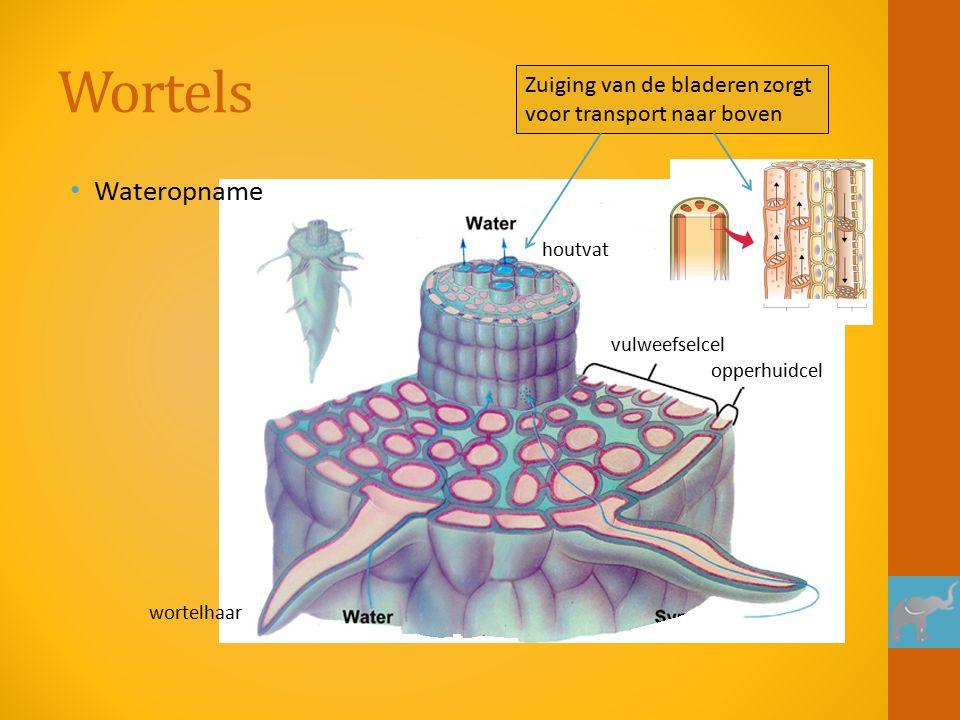 Wortels Wateropname vulweefselcel opperhuidcel wortelhaar houtvat Zuiging van de bladeren zorgt voor transport naar boven