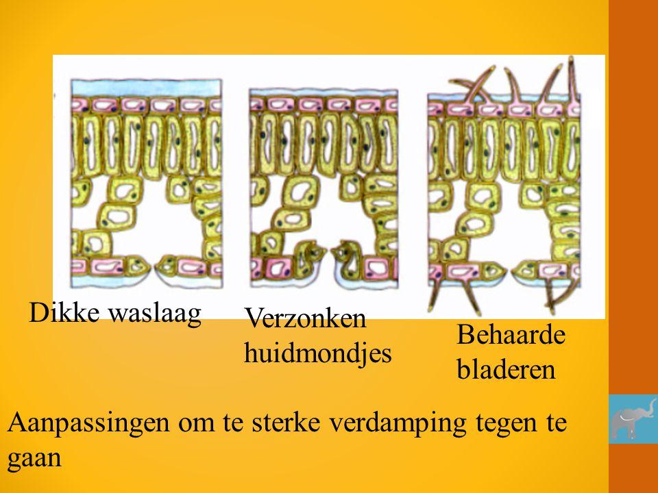 Dikke waslaag Verzonken huidmondjes Behaarde bladeren Aanpassingen om te sterke verdamping tegen te gaan