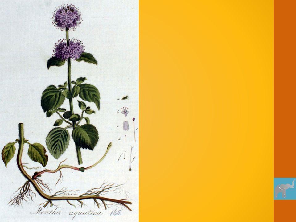 stempel vruchtbeginsel helmdraad helmhokje Gras is een windbloeier: Grote veervormige stempels om stuifmeel op te vangen Meeldraden hangen buiten de bloem Geen opvallende kleuren Licht stuifmeel