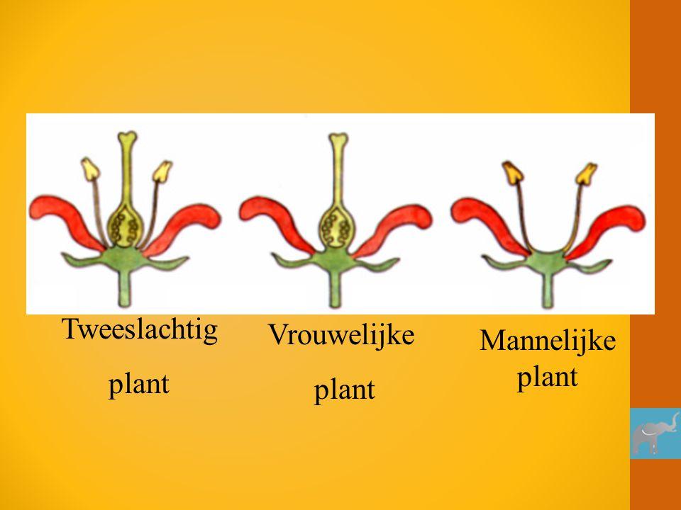 Tweeslachtig plant