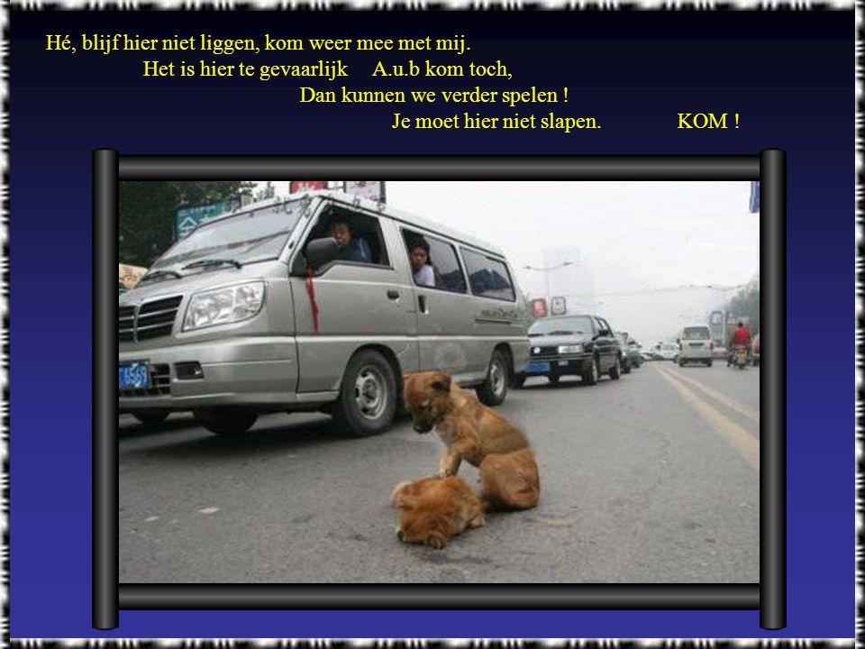 Trouw aan een vriend. Een hondje werd gezien in het midden van een straat waar hij met zijn pootjes zijn vriendje probeerde wakker te maken..... het w