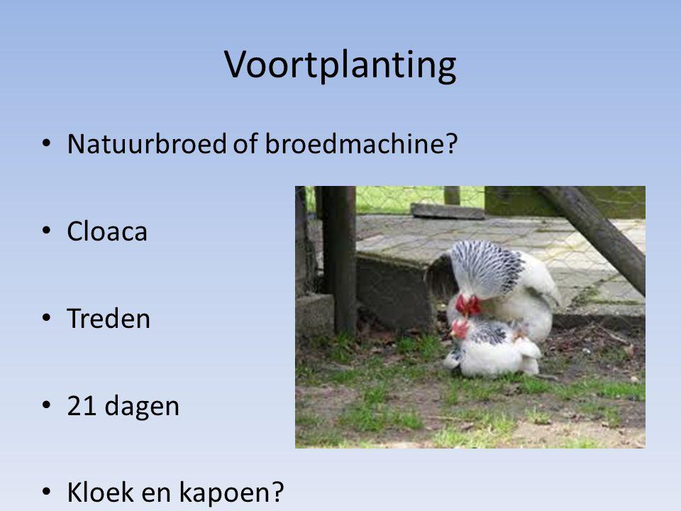 Voortplanting Natuurbroed of broedmachine? Cloaca Treden 21 dagen Kloek en kapoen?