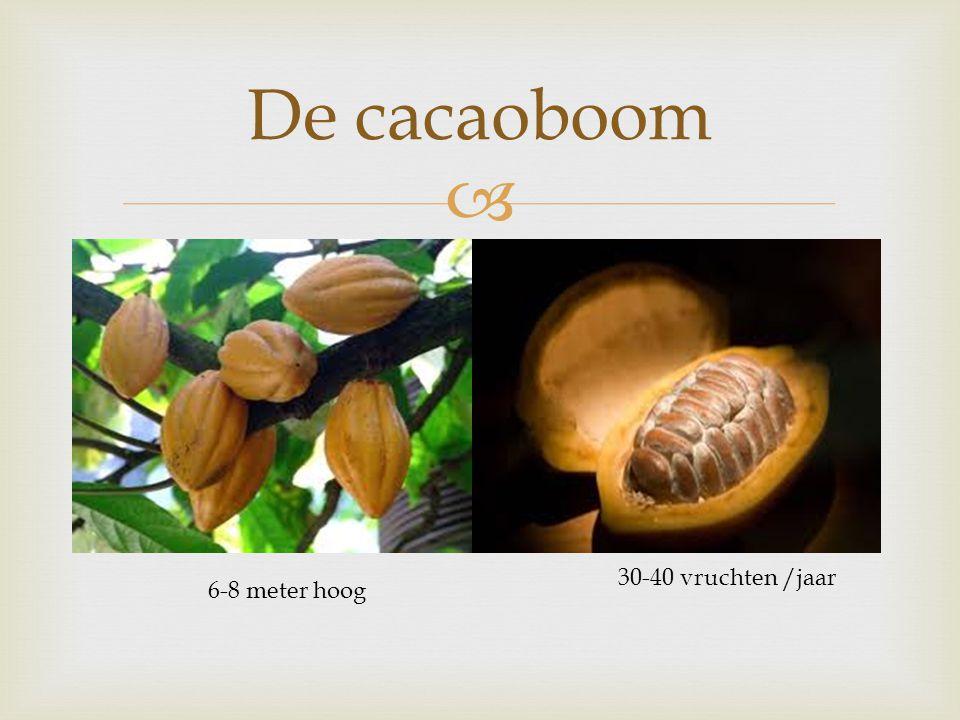  De cacaoboom 6-8 meter hoog 30-40 vruchten /jaar