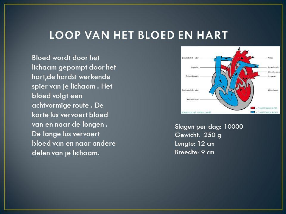 Bloed wordt door het lichaam gepompt door het hart,de hardst werkende spier van je lichaam. Het bloed volgt een achtvormige route. De korte lus vervoe