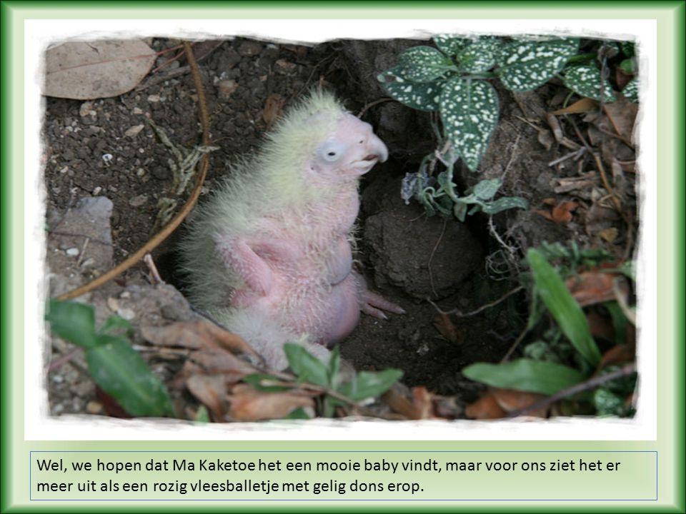 Elke keer als Pa en Ma Kaketoe van het nest weg waren, konden we snel een kijkje en een fotootje nemen.