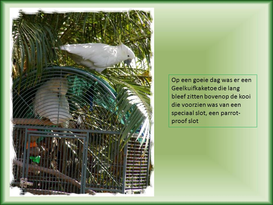 Ongeveer acht jaar geleden vloog een wilde Geelkuifkaketoe tegen een auto aan, en brak een vleugel.