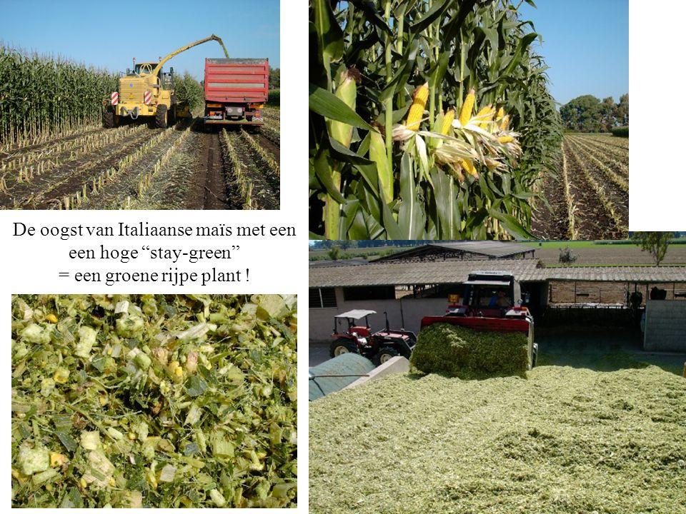 """De oogst van Italiaanse maïs met een een hoge """"stay-green"""" = een groene rijpe plant !"""